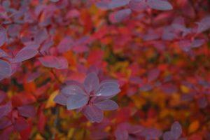 TorontoGardens-Berberis-Fall