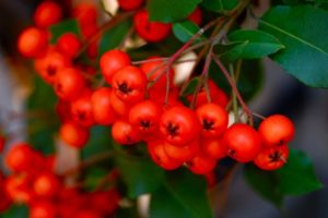 TorontoGardens-Pyracantha-Berries