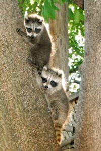 TorontoGardens-Raccoons2