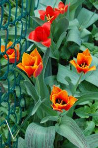 tulipa_fosteriana