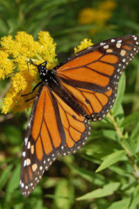 Male Monarch (you can tell by the spots on his lower wings)