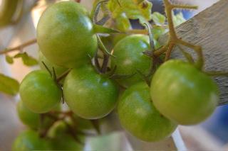 TomatoesGrn
