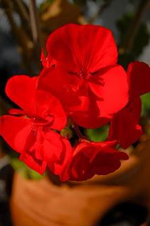 PelargoniumClose