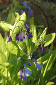 Native Mertensia is on the NANPS plant list